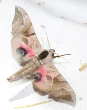 Illus sortie papillons nuit mirebeau
